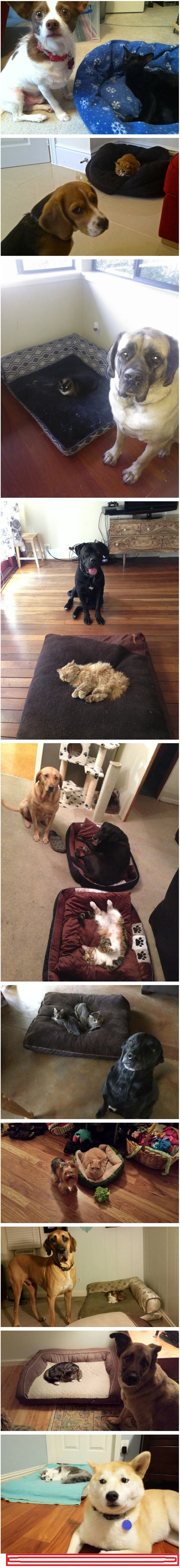 funny-cats-stealing-beds-dogs