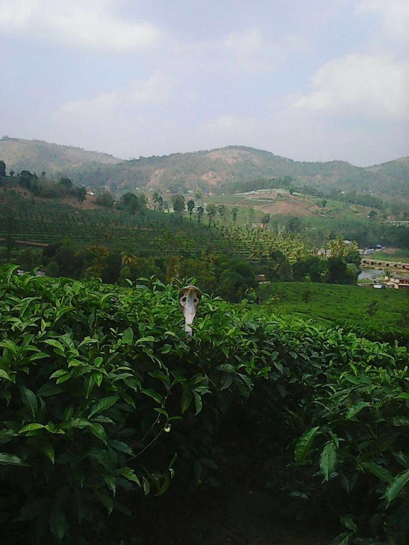 tea-estate-india