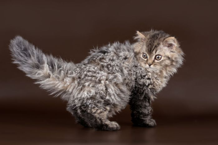 Selkirk Rex On Brown Background