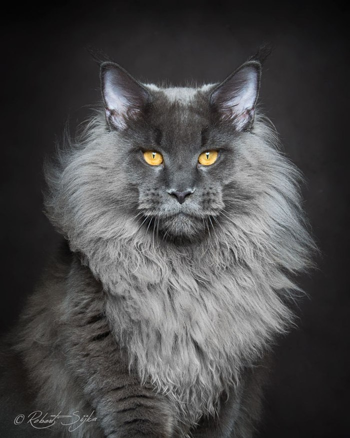 alf maine coon