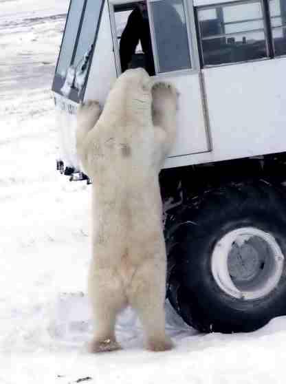 bear buggy