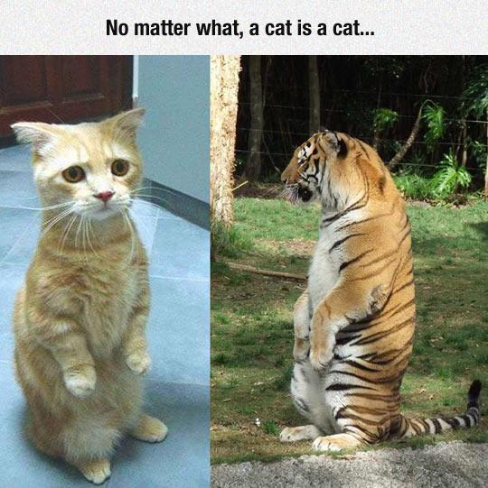 cat-tiger-sitting-hilarious