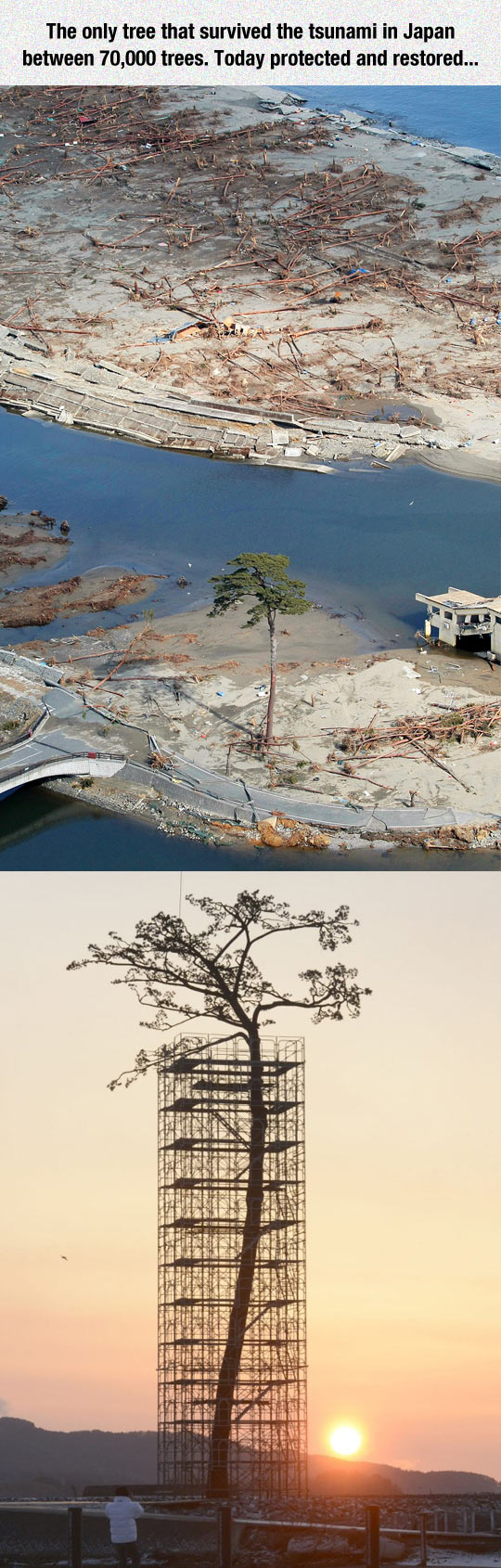 funny-Japan-tree-tsunami-protected
