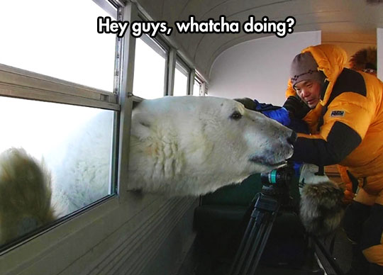 funny-polar-bear-bus-window-nosy