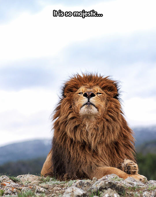 cool funny-lion-mountain-wind-majestic