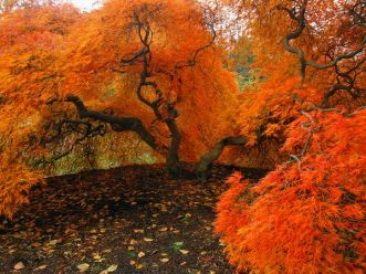 autumn-japanese-maple_2832_600x450