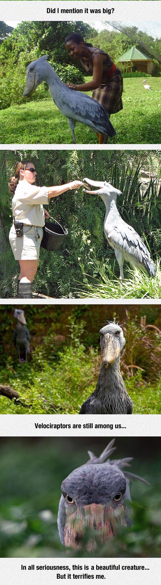 funny-dinosaur-Shoebill-stork-bird-Africa