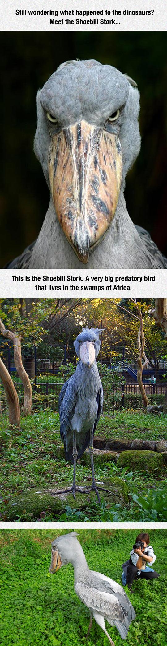 funny-dinosaur-Shoebill-stork-bird