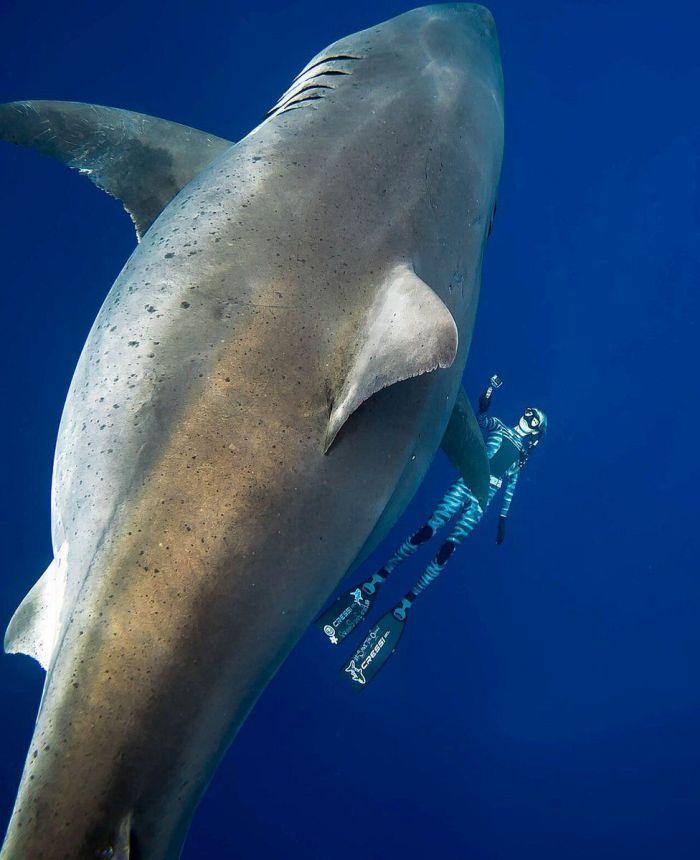 ashark2