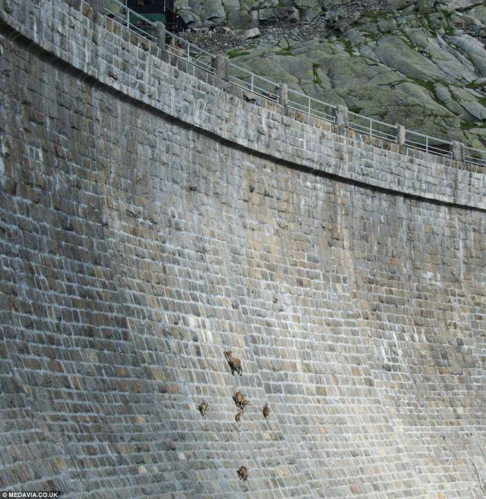 alpine ibex climbing dams
