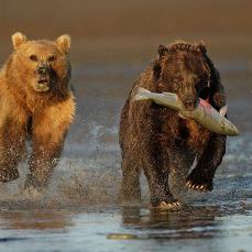 bearsx13