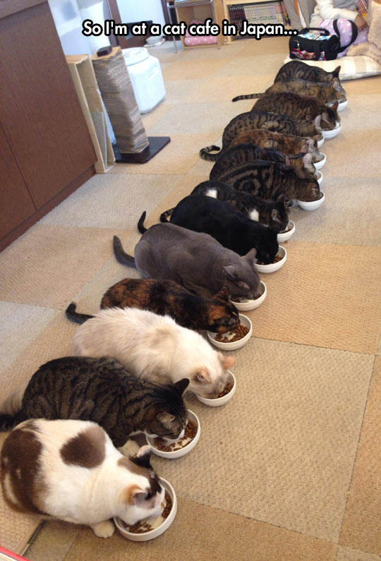 funny-cat-cafe-Japan-eating
