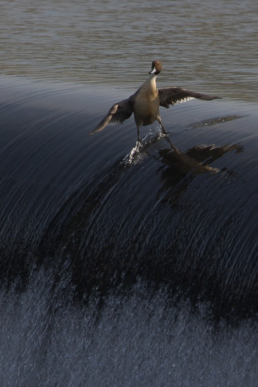surfing bird