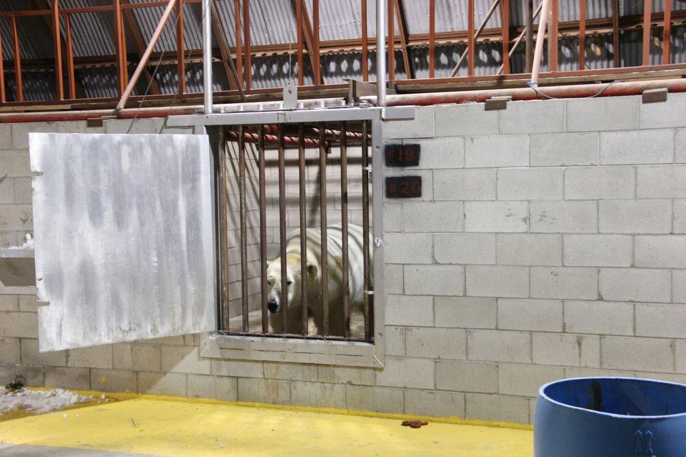 Polar Bear Churchill